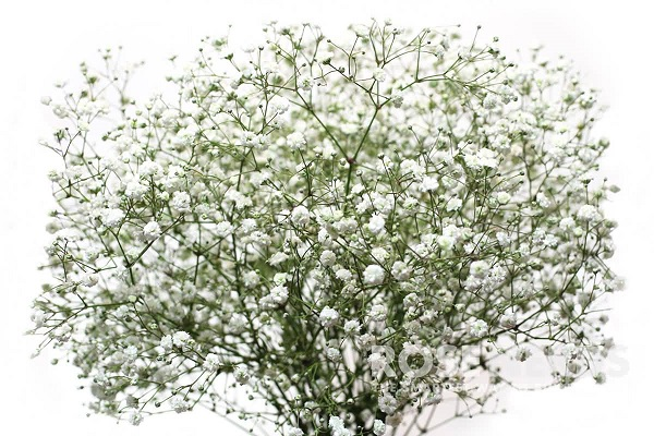 When to Give Baby Breath Singapore Flowers to the Special Women in Your Life