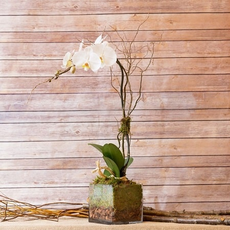 elegant white phalaenopsis orchid for display