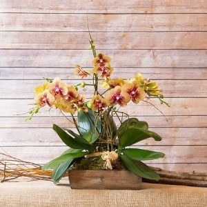 rare phalaenopsis orchid discount in singapore