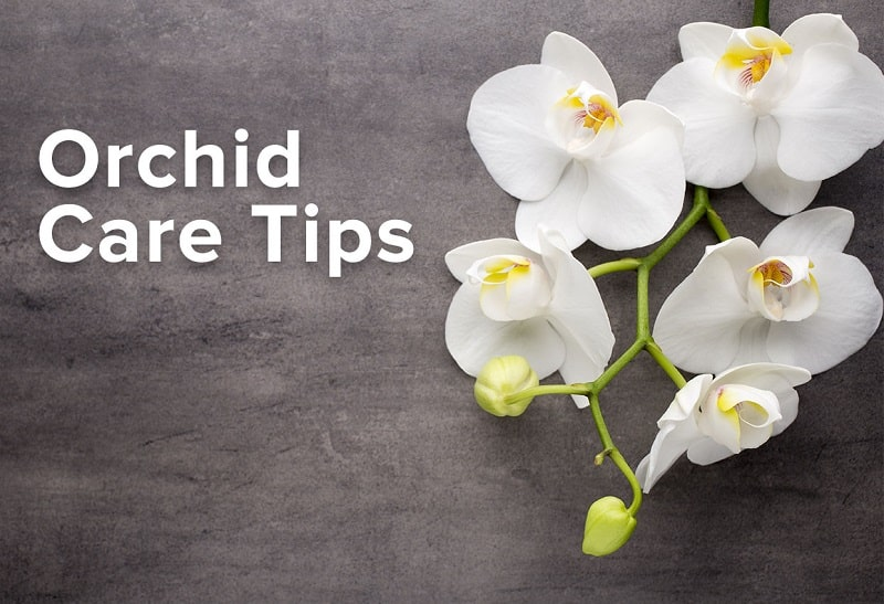 How Do You Maintain Orchids?